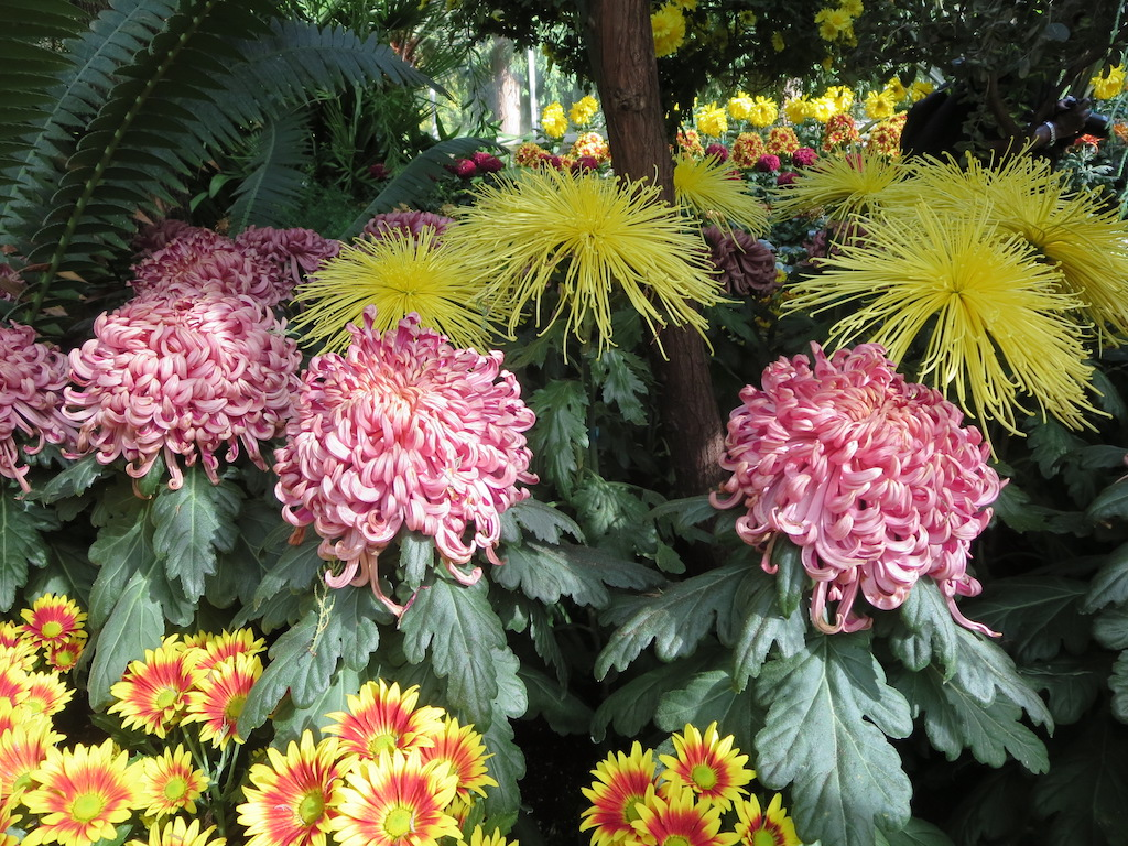 Pink and yellow chrysanthemums