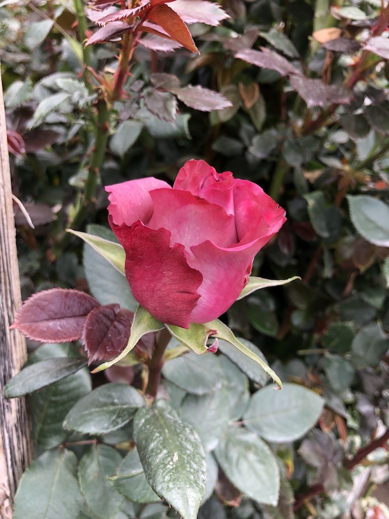 Pink Ecuadorian rose.