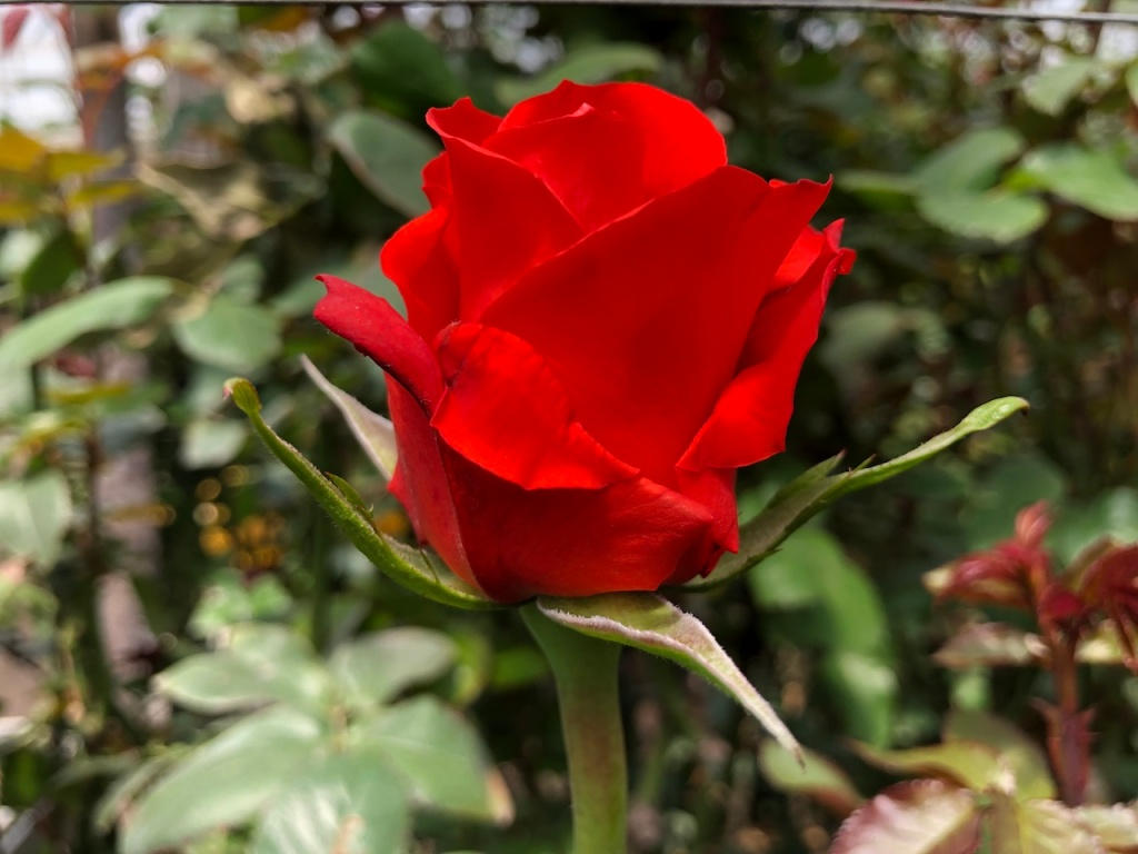 An Ecuadorian red rose