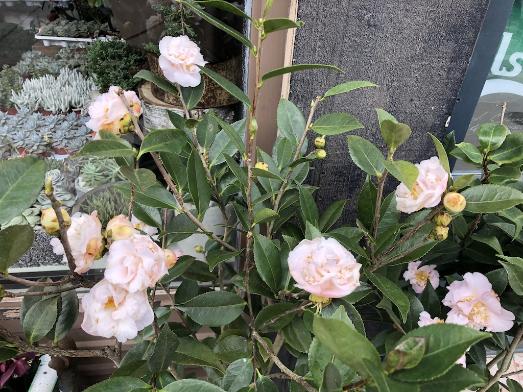 Pink and highly fragrant Camellia Lutchuensis