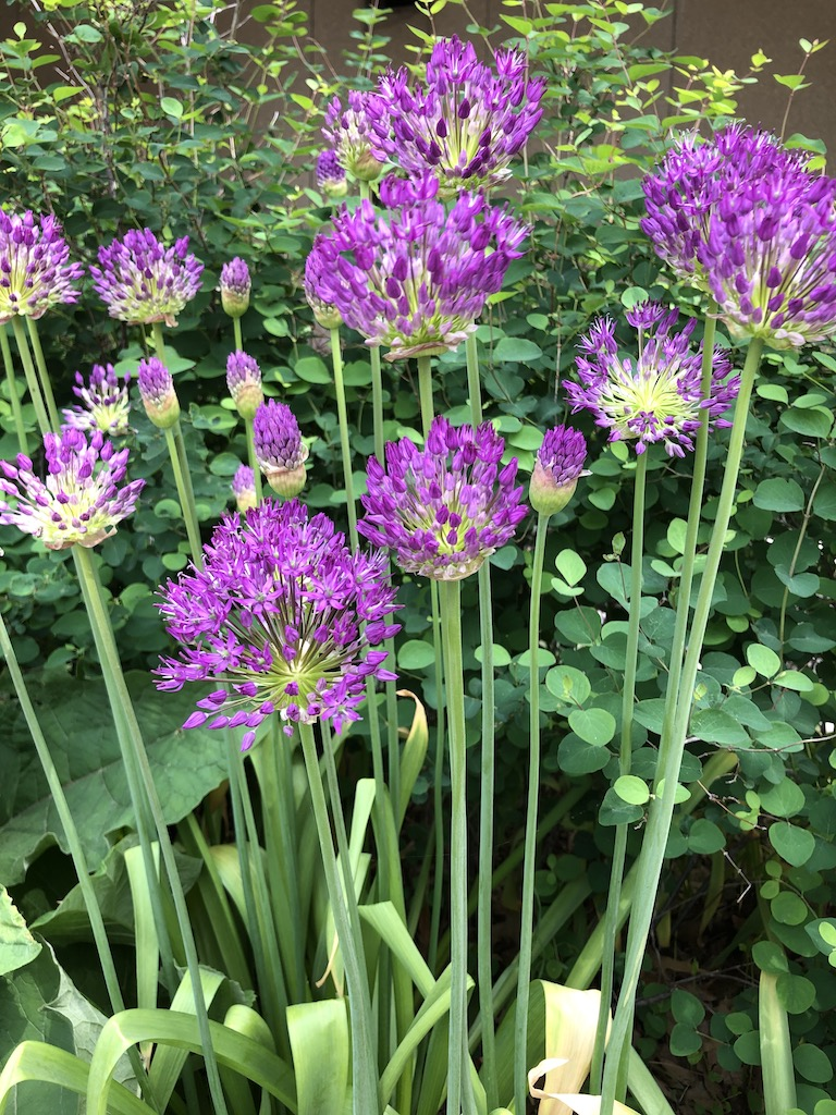 Allium 'Purple Sensation' flowers