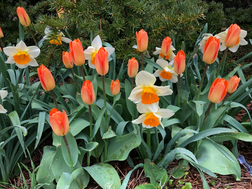 Orange tulips and daffodils