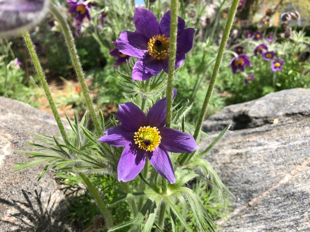 Purple Pasque flowers