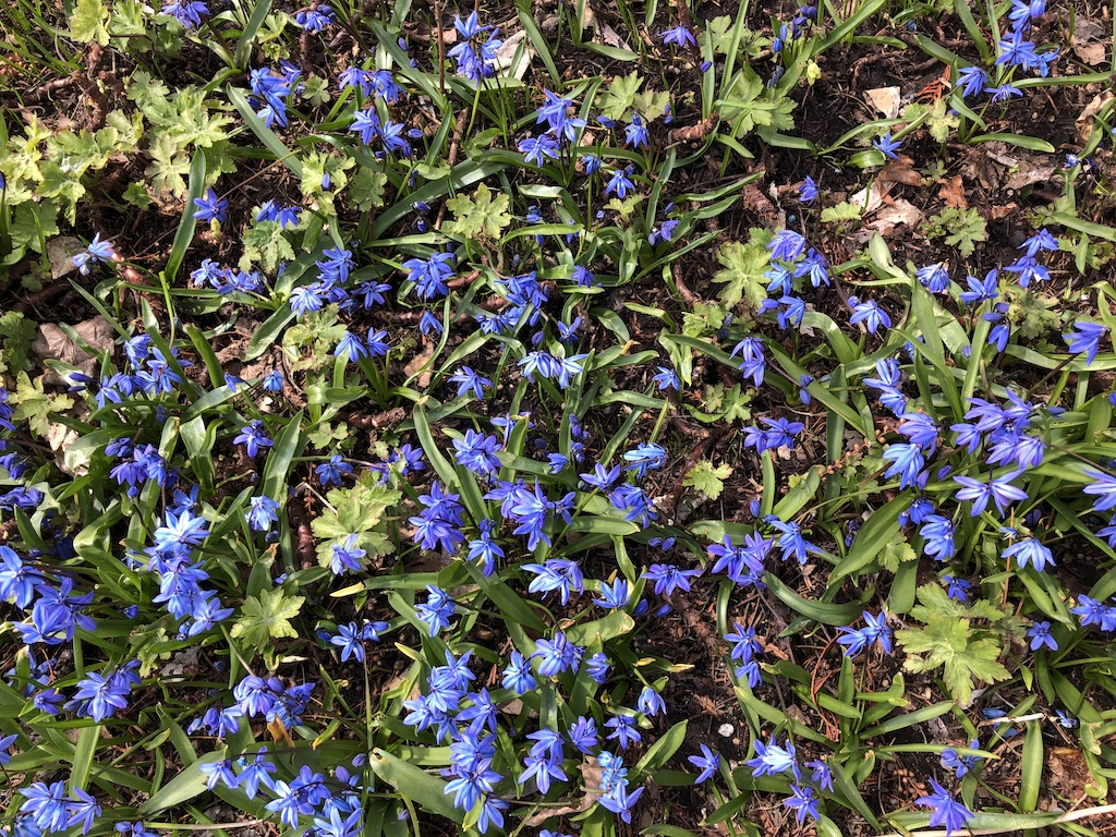Blue Siberian squill flowers