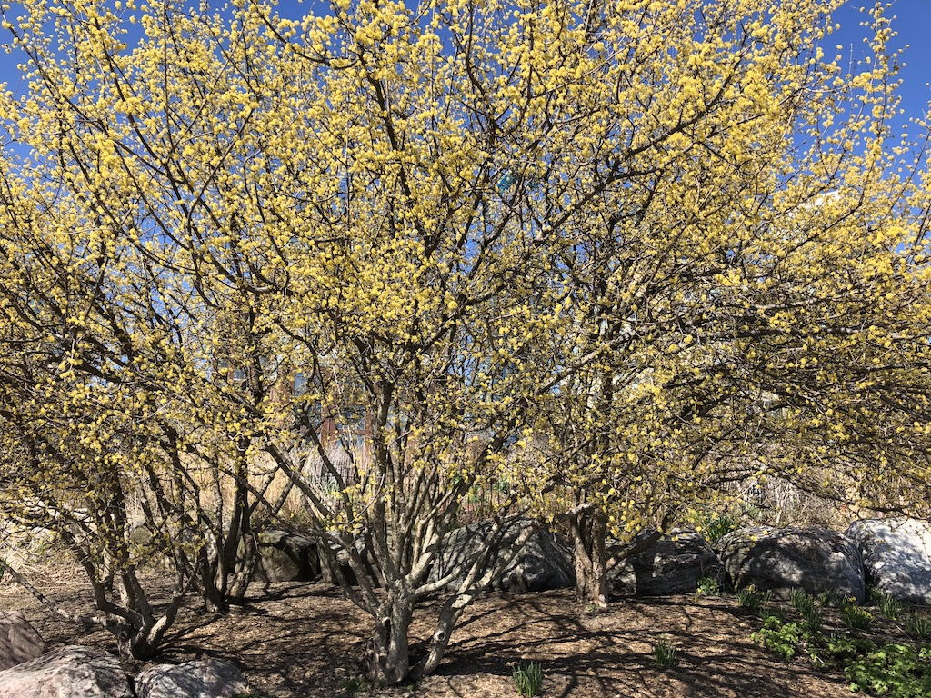 Trees with yellow flowers