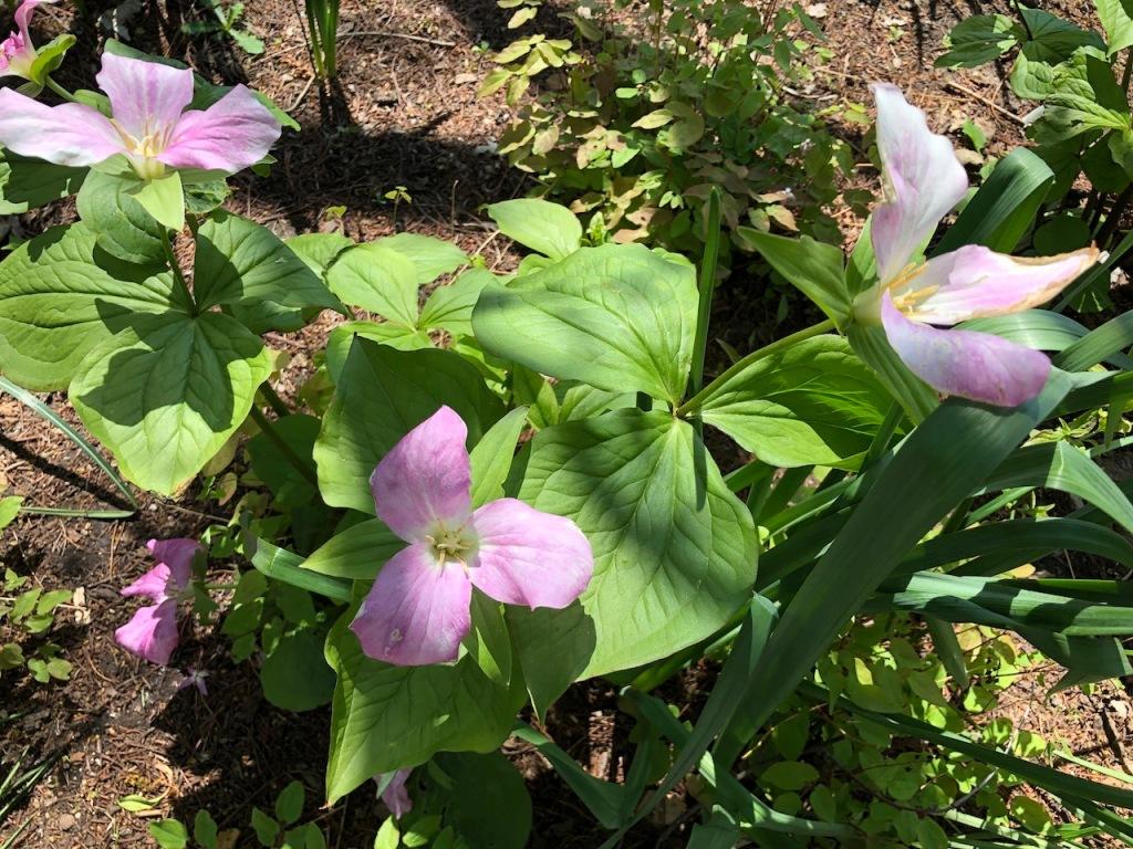 Pink trillium flowers