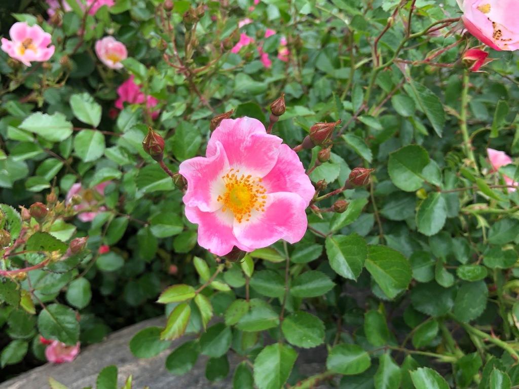Fragrant rose bushes.