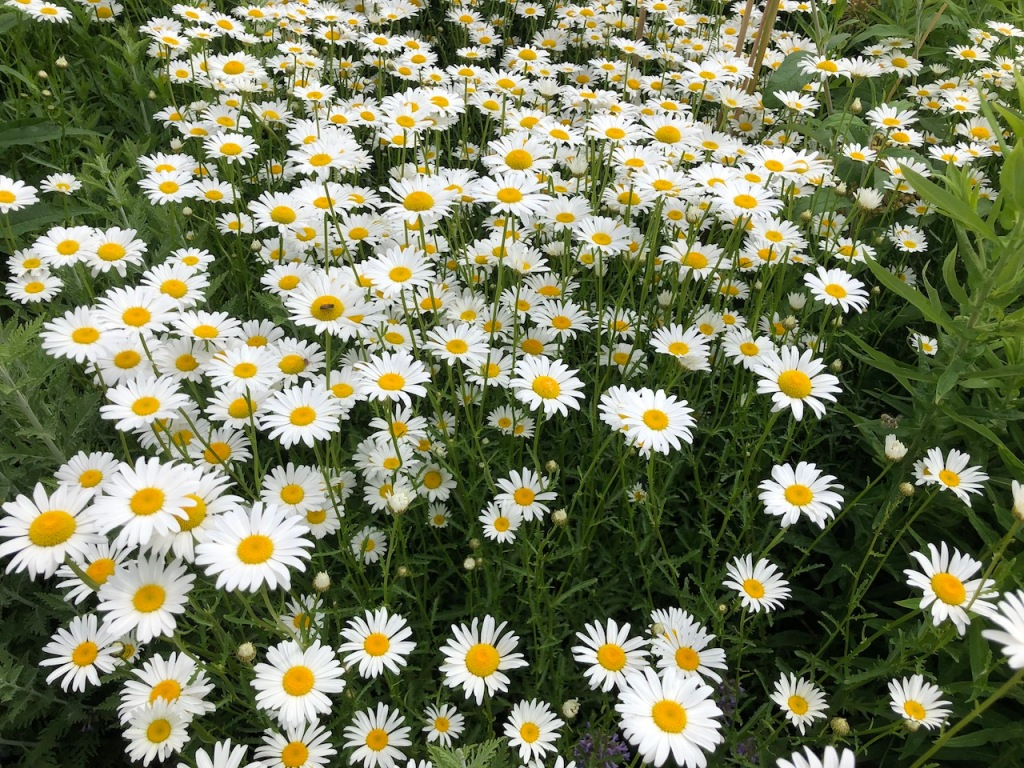 A patch of pretty white daisies.