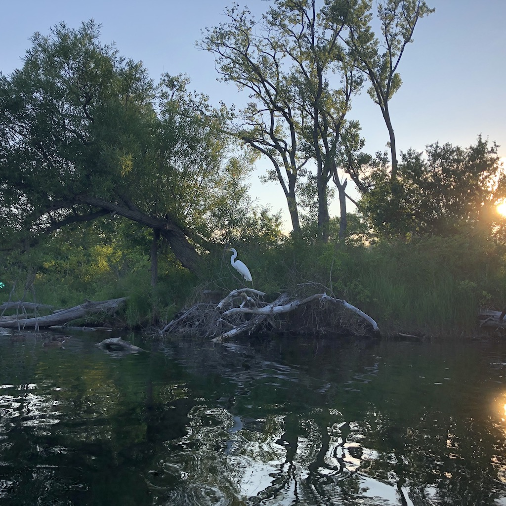 A great egret on Toronto Islands.