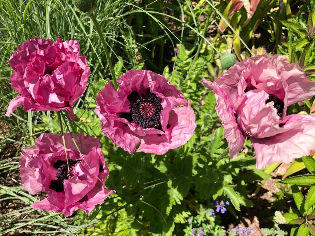 Pink poppies.
