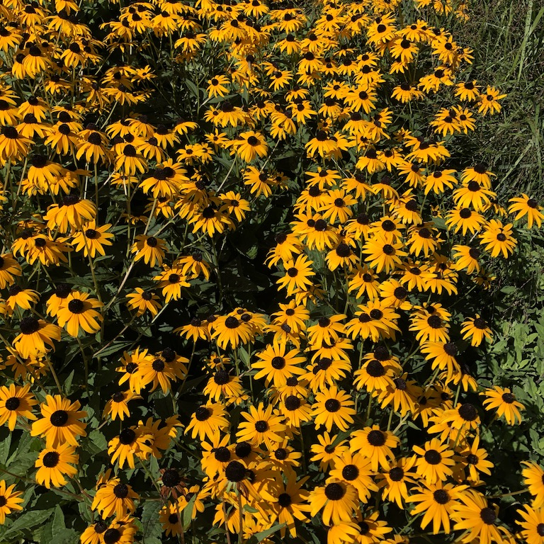 A splash of bright colours: Black-eyed Susan.