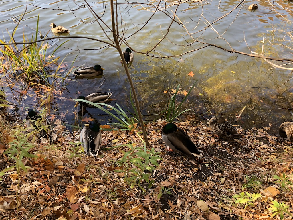 Ducks in Grenadier Pond