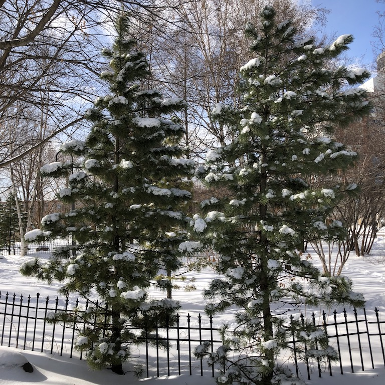 Snow on evergreen trees and the ground.