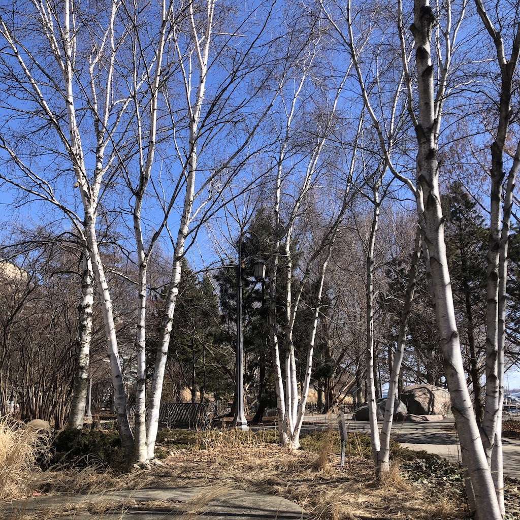 White birch trees.