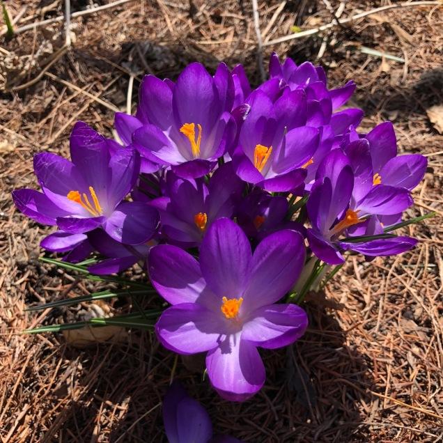 Violet croci.