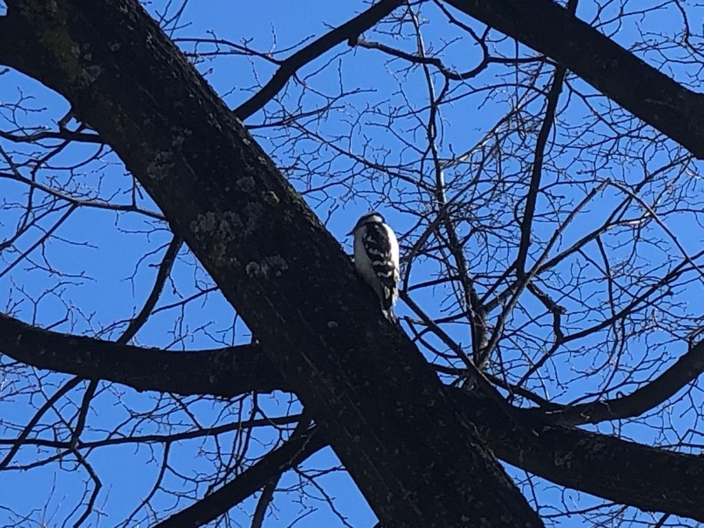 A woodpecker.