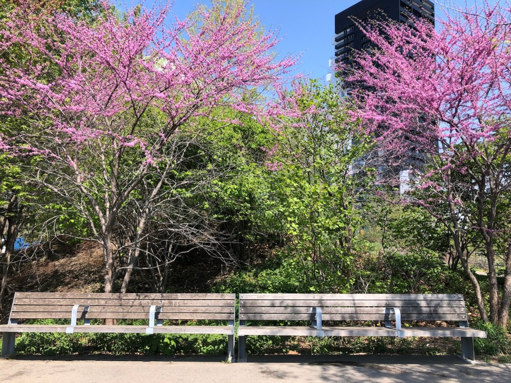 Benches by redbud trees