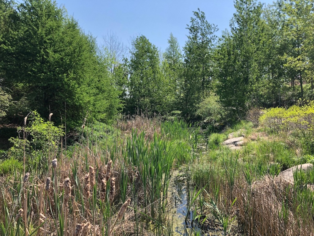 Native plants and marsh at Corktown Common.