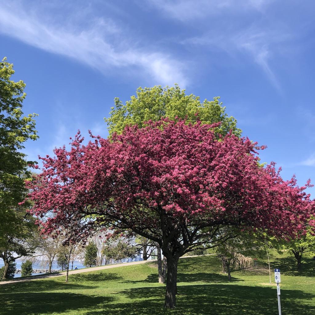 A crabapple tree.