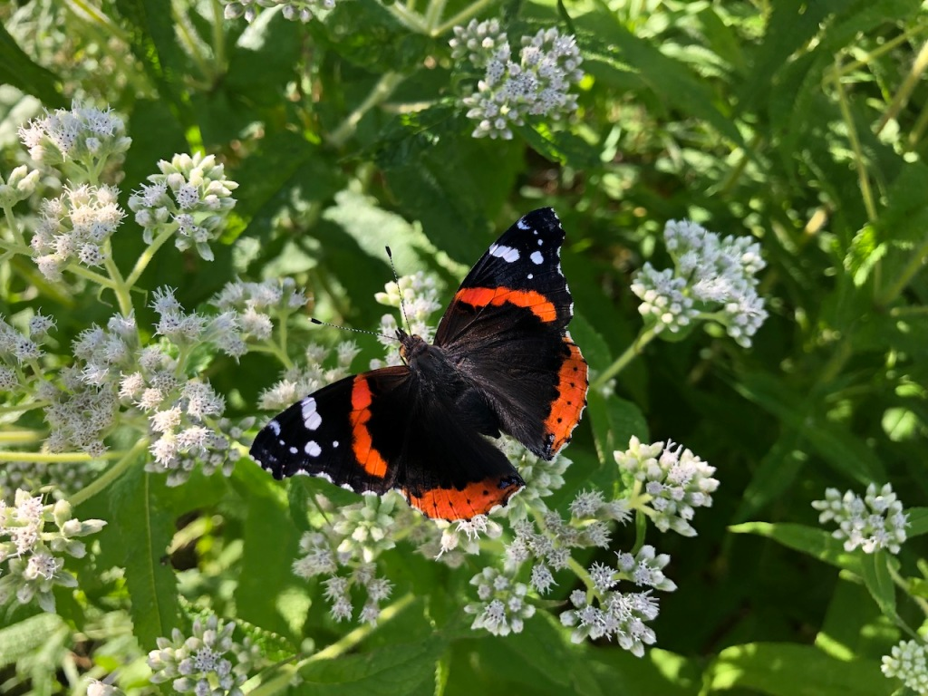 A Red Admiral butterfly.