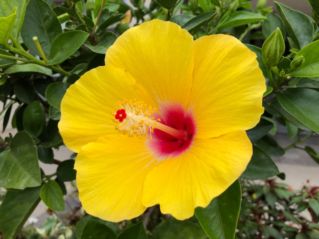 A yellow hibiscus.
