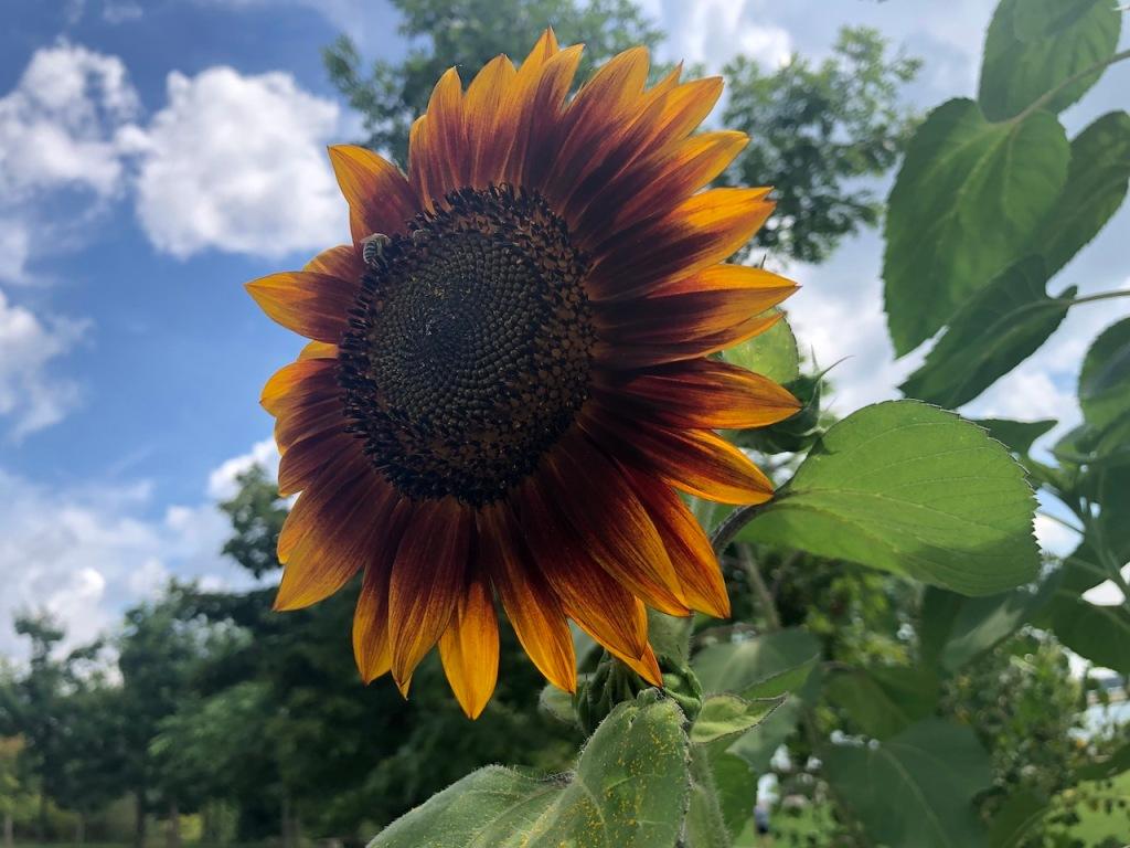 An Autumn Beauty sunflower.
