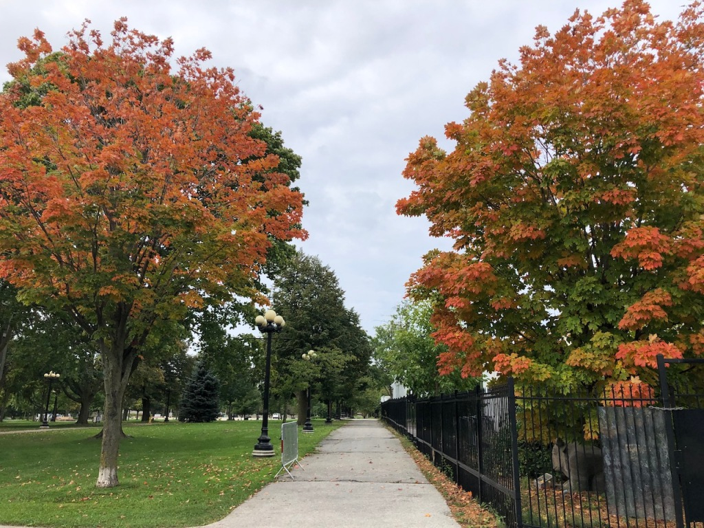 Maple trees changing colours.