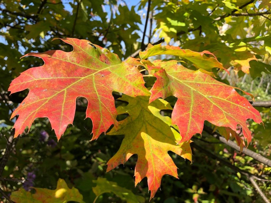 Oak leaves in autumn.