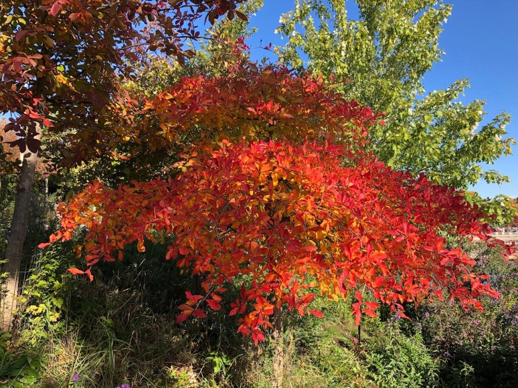 Black Gum tree in autumn.